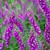 Wild Foxglove (Digitalis purpurea)