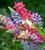 Lupinus polyphyllus 'Tutti Frutti'