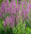 Agastache pallidiflora ssp. neomexicana 'Rose Mint'