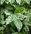 Humulus japonicus 'Variegatus' (Variegated Japanese Hop)