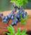Blueberry 'Bluedrop'