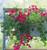 Pelargonium 'Surcouf'