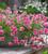 Verbena tenera 'Sissinghurst'