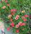 Argyranthemum and Lavender Collection