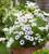 Osteospermum 'Akila White Purple Eye' F1