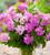 Scented Pelargonium Collection