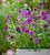 Viola x cornuta 'Martin'
