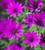 Osteospermum 'Tresco Purple'
