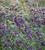 Salvia x jamensis 'Nachtvlinder'