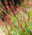 Persicaria amplexicaulis 'Orange Field'