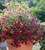 Petunia 'Tidal Wave Red Velour' F1