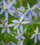 Isotoma axillaris 'Gemini Blue'