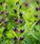 Baptisia 'Grape Taffy'