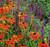 Perfect Pair - Helenium and Salvia