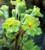 Polyanthus 'Francesca'