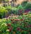 Dianthus barbatus 'Electron Mix'