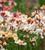 Wallflower 'Sunset Apricot' F1