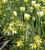 Wallflower 'Sunset Primrose' F1