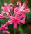 Nerine bowdenii 'Zeal Giant'