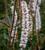 Actaea simplex (Atropurpurea Group) 'Brunette'