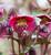 Helleborus x 'Anna's Red'(Rodney Davey Marbled Group)