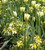 Tulip 'Spring Green' & Wallflower 'Sunset Primrose' F1