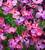 Wallflower 'Sunset Dark Purple' F1