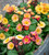 Polyanthus 'Stella Champagne' F1