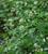 Galium odoratum (Woodruff)