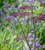 Angelica sylvestris purpurea 'Vicar's Mead'