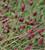 Sanguisorba officinalis 'Crimson Queen'