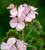 Pelargonium 'Horizon Appleblossom' F1