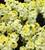 Wallflower 'Sugar Rush Primrose' F1