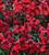 Wallflower 'Sugar Rush Red' F1