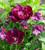 Tulip 'Antraciet' and Wallflower 'Sugar Rush Purple Bicolour' F1