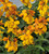 Wallflower 'Sugar Rush Orange' F1