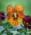 Viola x cornuta 'Tiger Eye Red' F1