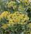 Bupleurum fruticosum
