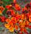 Tulip 'Queen of Night' and Wallflower 'Sunset Orange' F1