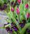 Tulip 'Caviar' & Viola cornuta 'Phantom' F1