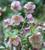 Helleborus orientalis subsp. Abchasicus