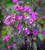Lunaria annua 'Chedglow'