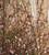 Chaenomeles speciosa 'Moerloosei'