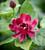 Calycanthus x raulstonii 'Hartlage Wine'