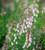 Linaria x purpurea 'Dial Park'