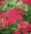 Achillea millefolium 'Peggy Sue'