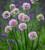Allium angulosum 'Summer Beauty'