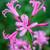 Nerine bowdenii 'Favourite'
