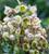 Helleborus ericsmithii 'Ivory Prince' Gift Set