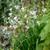 Acidanthera murielae (syn. Gladiolus)